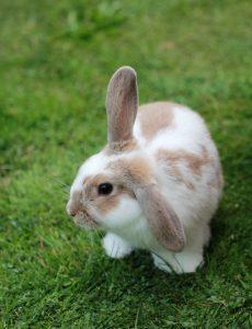 Myxomatosis: Vacunación a conejos enanos