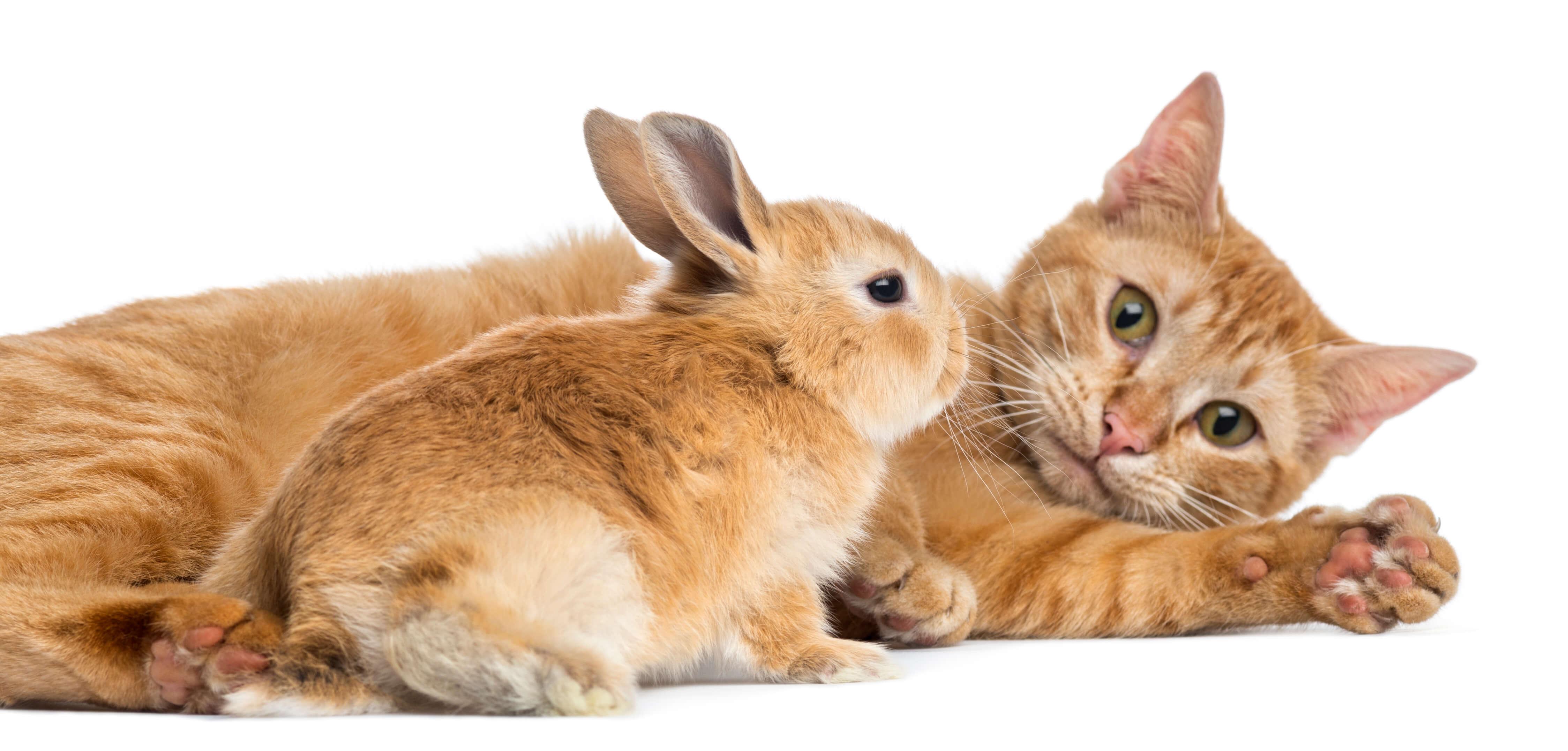 mascotas conejo enano