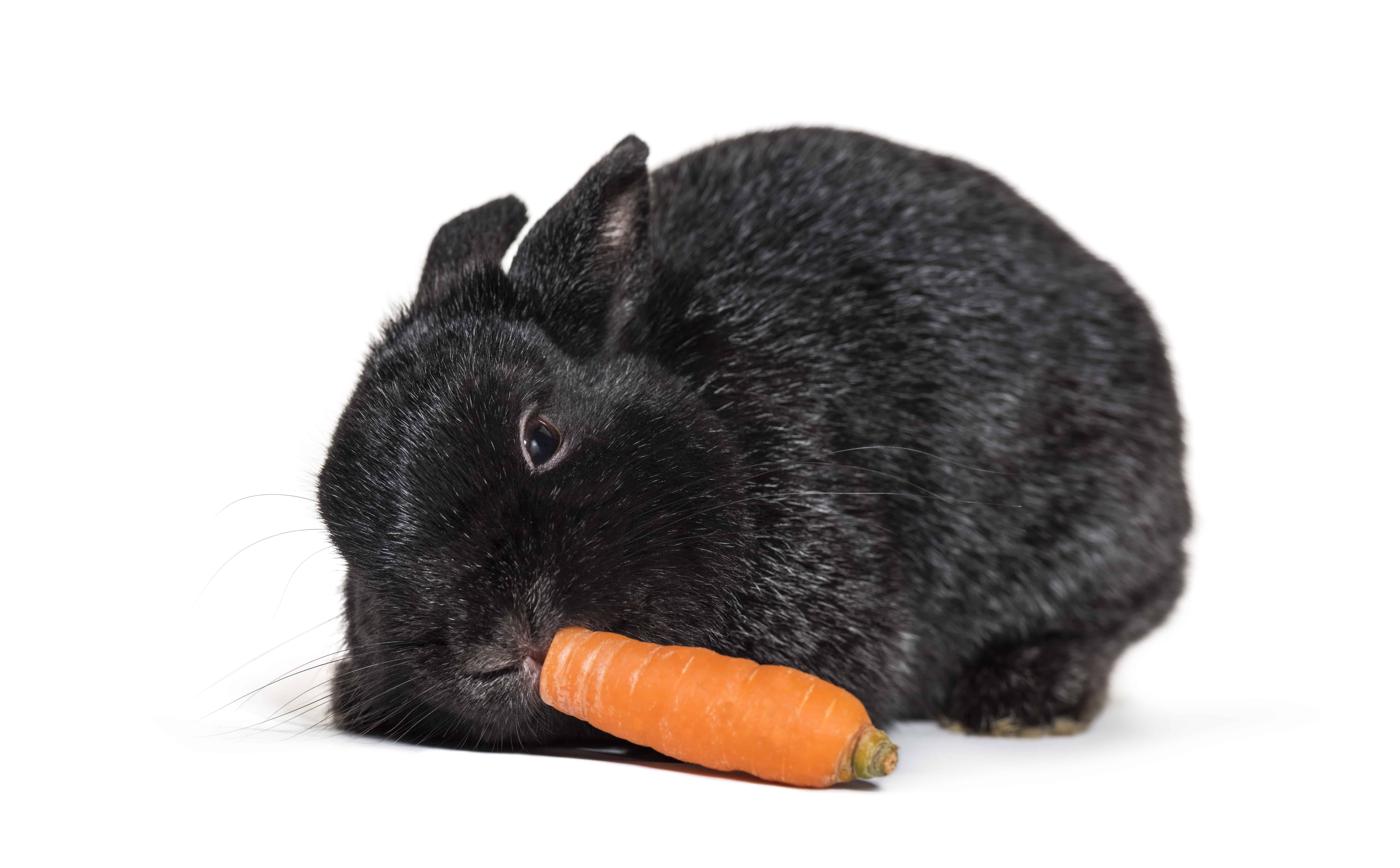 origen conejo enano