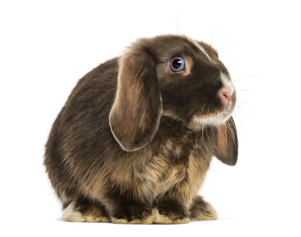 ojos conejos enanos